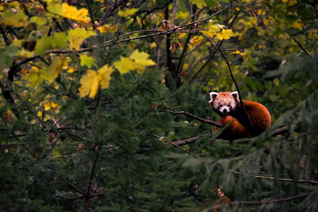 panda_torilsorlie